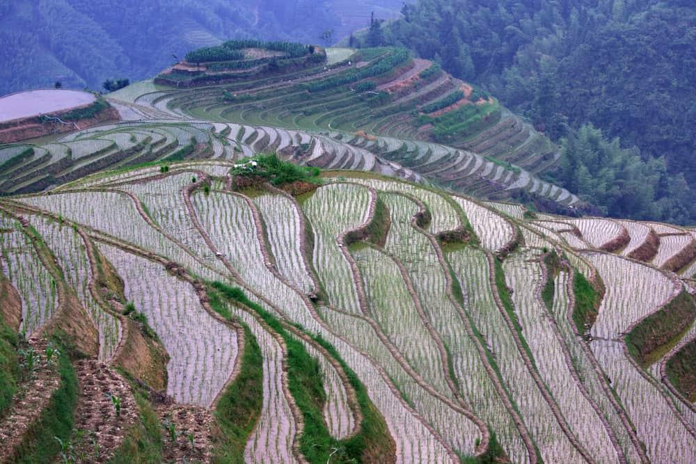 Reisanbau Sushireis für Reiskocher